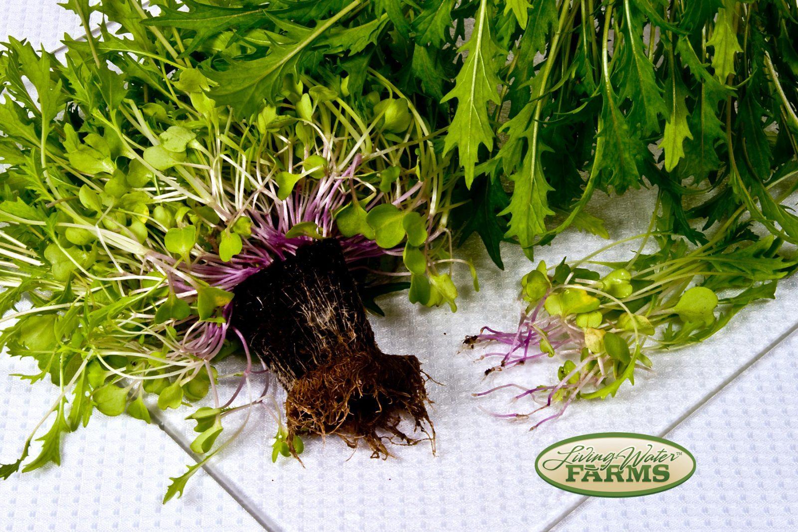 Living Water Farms Living Greens Purple Mizuna