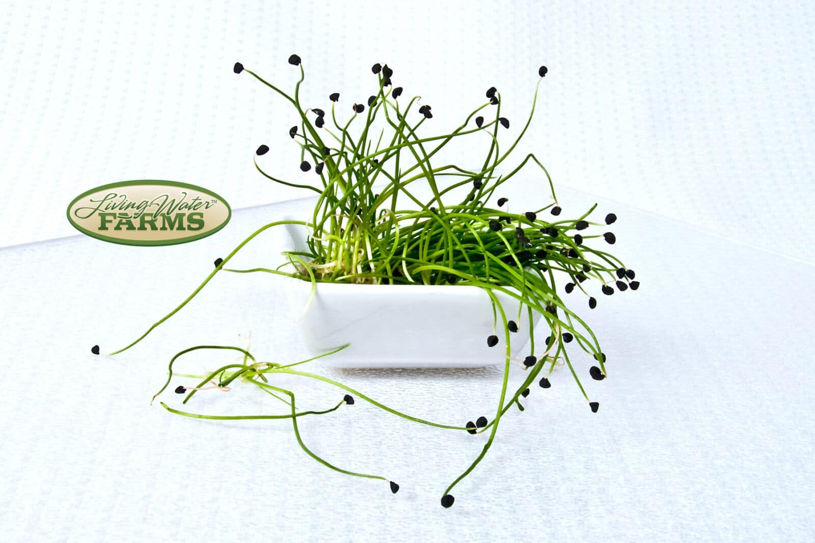 Living Water Farms Micro Greens Spring Onion