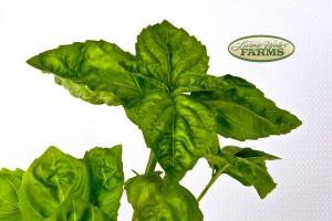 0067lwf basil italian lg leaf